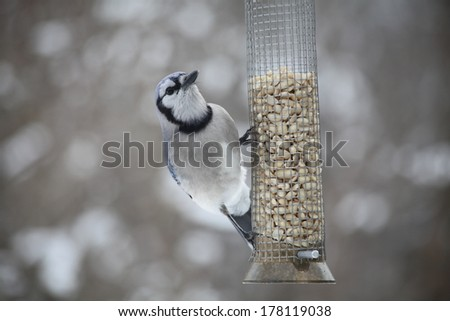 hungry blue jay sitting on a peanut feeder during a snowstorm