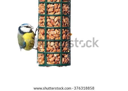 hungry blue tit on peanut garden feeder isolated over white background ( Cyanistes caeruleus ) - stock photo