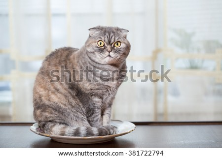 Hungry cat sits in a plate in the kitchen. Cat waits when will feed. - stock photo