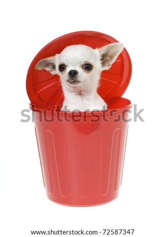 Hungry Chihuahua puppy inside of a red plastic garbage picking through the trash can looking out at camera, isolated on white.