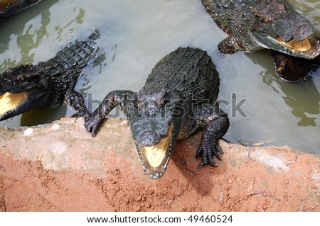 Hungry crocodile in Vietnam
