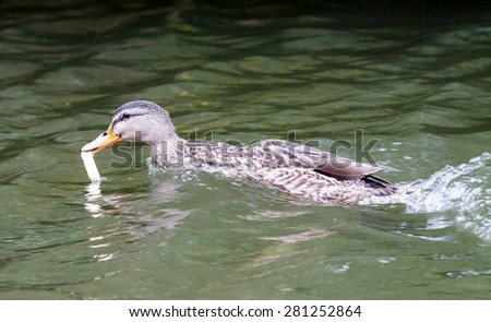 Hungry female Mallard, swimming in the canal and eating a piece of bread. - stock photo