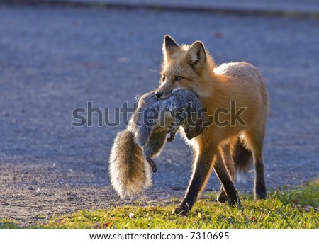 Hungry fox - stock photo