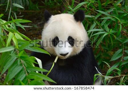 Hungry giant panda bear eating bamboo at Chengdu, China - stock photo