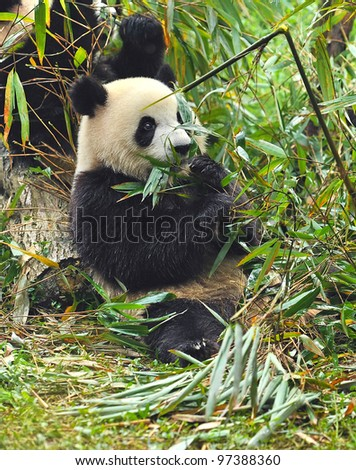 Hungry giant panda bear eating bamboo in forest