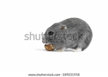 Hungry hamster eating the nut. In addition, clipping path included
