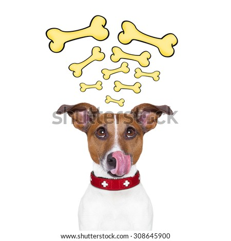hungry jack russell dog thinking and hoping of a big bones repeating in his head, isolated on white background