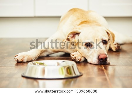 Hungry labrador with empty bowl is waiting for feeding - stock photo