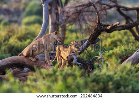Hungry Lionesses in dry trees watching for something to hunt in Samburu National Reserve, Kenya - stock photo