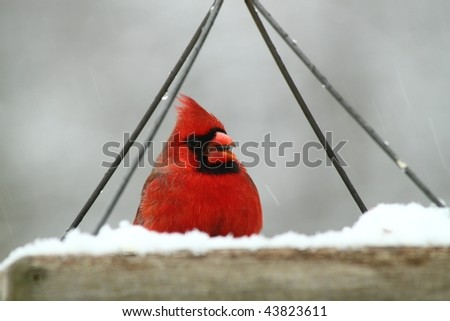 hungry male cardinal eating at a snow covered feeder - stock photo