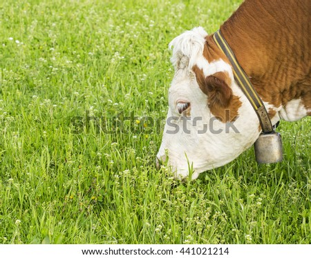 Hungry old cow eating some grass. - stock photo