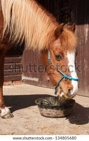 Hungry pony eating from feed bucket - stock photo