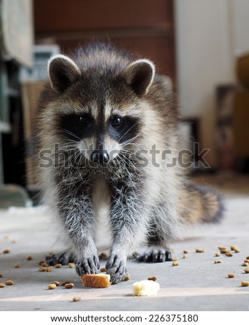 Hungry Raccoon - stock photo