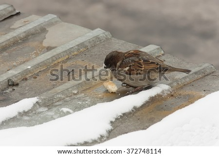 Hungry sparrow eating a piece of bread in the winter