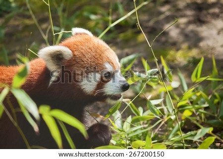 Hungy red panda eating bamboo - stock photo