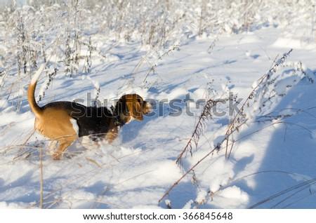 Hunter dog found victim - stock photo
