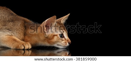 Hunting Abyssinian Kitten on mirror and Looking at Right isolated black background - stock photo
