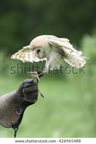 Hunting barn owl by a falconry glove - stock photo