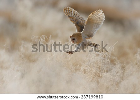 Hunting Barn Owl in morning nice light - stock photo