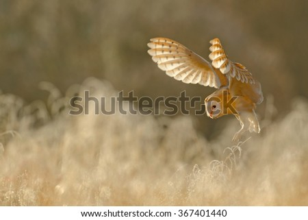 Hunting Barn Owl, wild bird in morning nice light, animal in the nature habitat, landing in the grass, action scene, France - stock photo