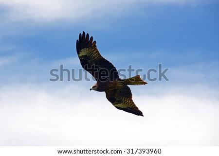 Hunting bird in the sky - stock photo