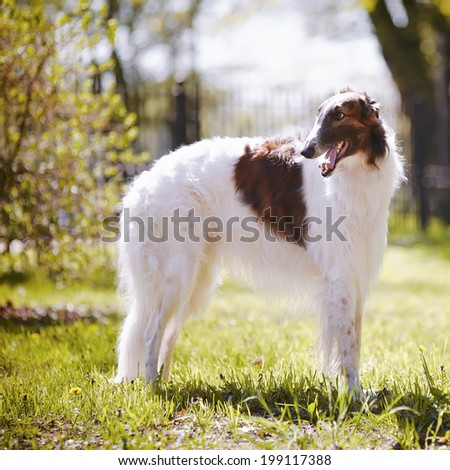 Hunting dog. Borzoi. White dog with spots.