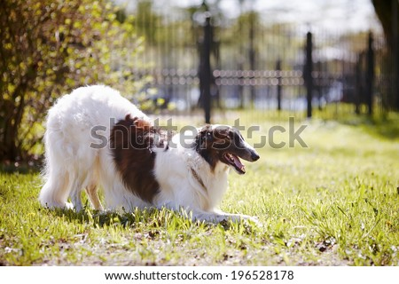 Hunting dog. Borzoi. White dog with spots. Dog for hunting. - stock photo