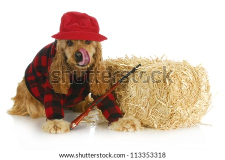 hunting dog - cocker spaniel wearing plaid shirt and red hat with rifle sitting beside bale of straw - stock photo