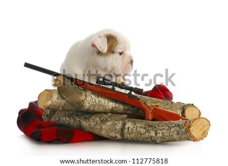 hunting dog - english bulldog puppy sitting behind wooden logs with shotgun - stock photo