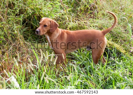 Hunting dog in Hot summer day