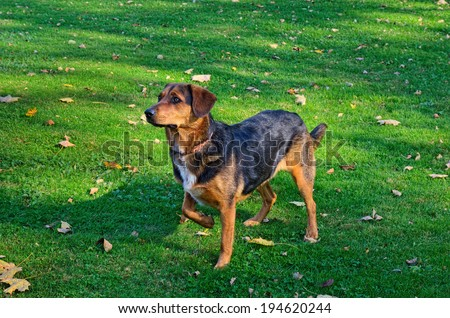 Hunting Dog in Pointing Position - stock photo