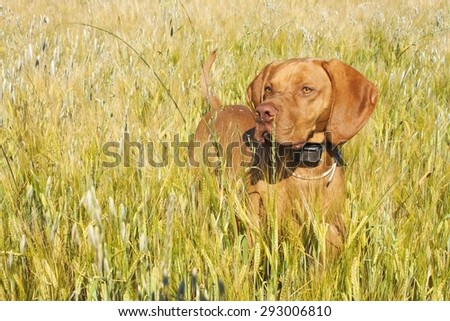 Hunting dog in the ripening grain. Hot summer day. Hungarian Pointer Viszla hunting. Electric dog collar. - stock photo