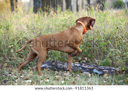 hunting dog pointing in forest