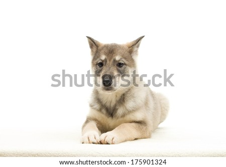 hunting dog puppy on a white background isolated