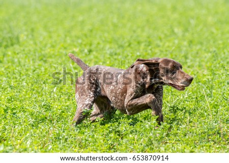 hunting dog racing with game Italian national championships