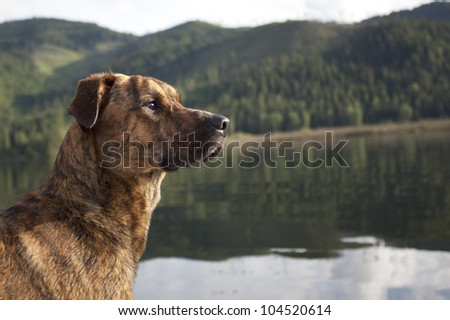Hunting dog ready to retrieve your shot - stock photo