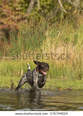 Hunting dog running in the water