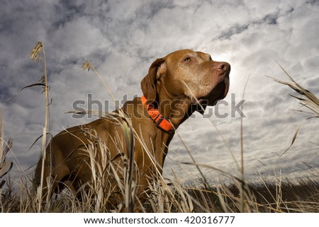hunting dog seen from ground level through grass