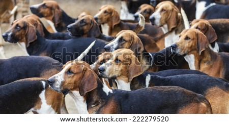 Hunting dogs looking in the same direction to the food - stock photo