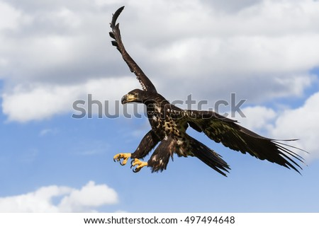 Hunting eagle on the wing. A juvenile bald eagle dashes through the air with its talons positioned for a pounce.