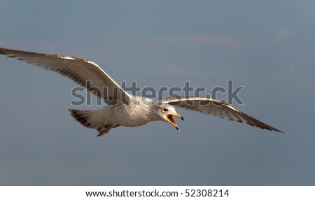 Hunting gull with outstretched wings.