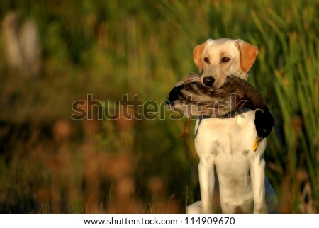 Hunting Labrador Retriever dog - stock photo