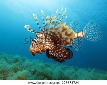 Hunting lionfish - stock photo