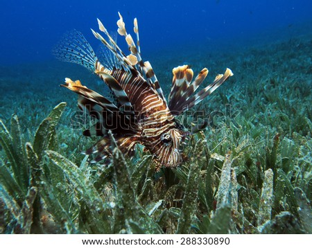 Hunting lionfish (Pterois miles)