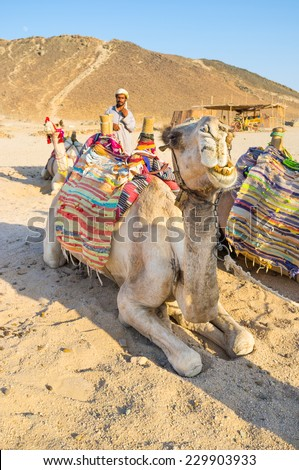 HURGHADA, EGYPT - OCTOBER 5, 2014: The camel rests and chews and the cameleer welcomes arriving tourists to take a camel ride, on October 5 in Hurghada.