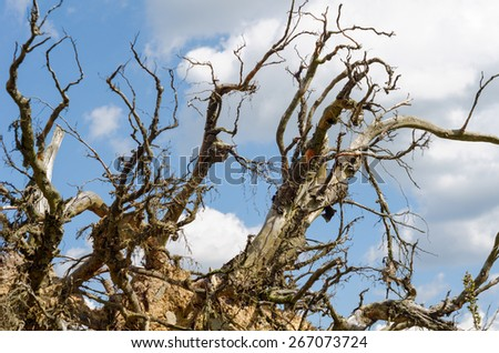 Hurricane Kyrill destroyed many forests in the middle of Germany in January 2007./Roots of an overturned tree, hit by a hurricane/Roots - stock photo