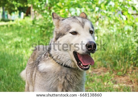 Husk dog. Husky. Dog on the background of grass. The dog is close-up.