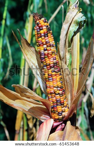 Husk of colorful Indian corn ready to be harvested - stock photo