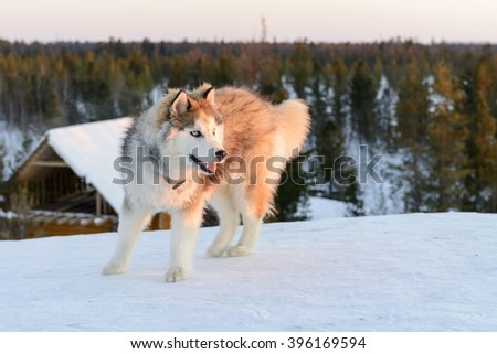 Huski dog on the Yamal Peninsula