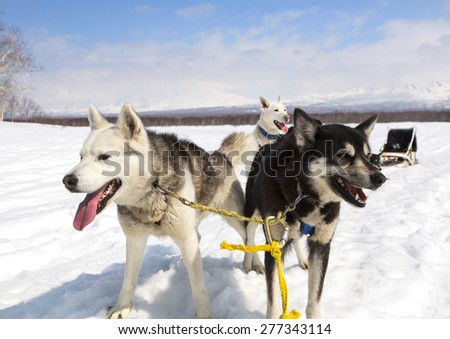 Huskies in a team have a rest near sledge on Kamchatka - stock photo
